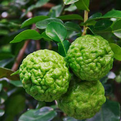 Kaffir Lime SD Indonesia